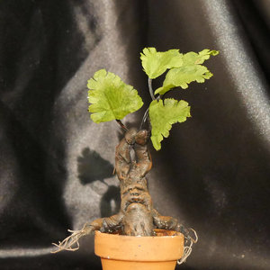 Mini Mandrake Harry Potter Plant picture